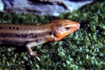 Five-Lined Skink - Male - Breeding Colors - By:Tom Diez