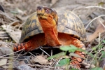 Eastern Box Turtle - By: Bob Hamilton