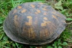 Eastern Box Turtle - By: Wayne Fidler
