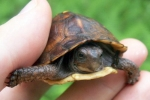 Eastern Box Turtle - By: Billy Brown