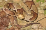 Northern Copperhead - By: Bob Bull