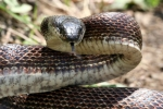 Rat Snake - Black with reddish coloration - By: Jason Poston