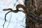 Rat Snake - Adult in tree - By: Jason Poston