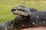 Rat Snake - By: Billy Brown