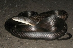 Rat Snake - By: Dave_badger