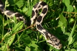 Rat Snake - Juvenile - White w/ black blotches - By: Jason Poston