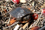 Eastern Painted Turtle By: Bob Hamilton