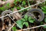 Eastern Garter Snake - By: Jason Poston