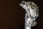 Eastern Gray Treefrog - By: Jeff Hankey