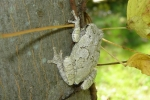 Eastern Gray Treefrog - By: Wayne Fidler