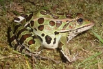 Northern Leopard Frog - By: Wayne Fidler