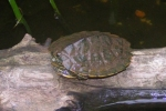 Common Map Turtle - By: Kyle Loucks