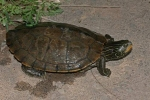 Common Map Turtle - By Andrew Wolf