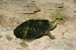 Common Map Turtle - By: Don Becker