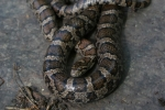 Milk Snake - Adult - By: Jason Poston