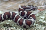 Milk Snake - Adult from Warren County, PA By: Rex Everett