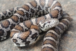 E. Milk Snake - Adult - By: Sebastian Harris