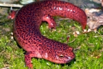 Red Salamnder - By: Jeff Hankey