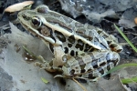Pickerel Frog - By: Wayne Fidler