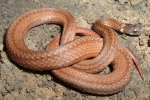 Redbelly Snake - By: Wayne Fidler