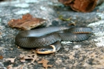 Ringneck Snake - Blueish-grey coloration - By: Bob Hamilton