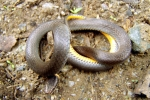 Ringneck Snake - Olive-brown coloration - By: Bob Hamilton