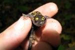 Spotted Salamander - By: Dave Emma