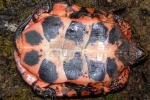 Spotted Turtle - By: Wayne Fidler