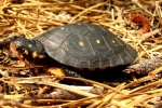 Spotted Turtle - By: Bob Hamilton