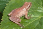 Northern Spring Peeper - By:Wayne Fidler