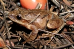 Northern Spring Peeper - By:Bob Hamilton