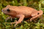 Northern Spring Peeper - By:Jeff Hankey
