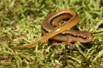 Northern Two-Lined Salamander - By: Jason Poston