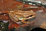Upland Chorus Frog By: By: Brandon Ruhe
