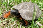Wood Turtle - By: Bob Hamilton